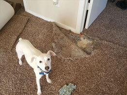 Carpet pet damage